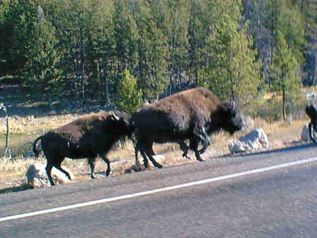 yellowstone-2001-buffalo_on_road