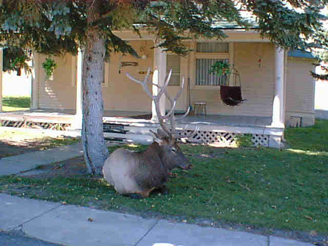 yellowstone-2001-elk-2